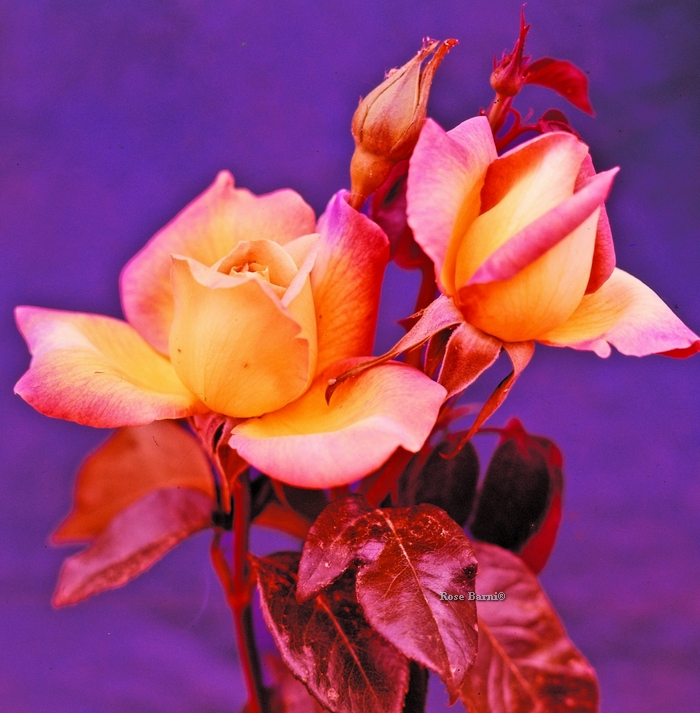 gioia | cod.01120 | Rose Barni
