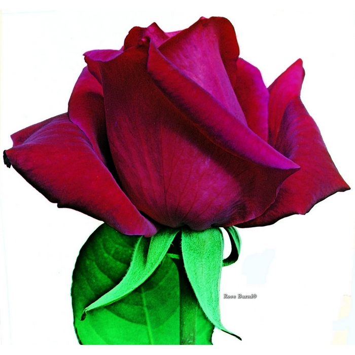 ljuba rizzoli ® | cod.01170 | Rose Barni