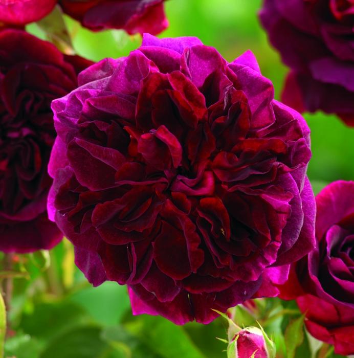 offerta rose inglesi r.n. | cod.01207 | Rose Barni