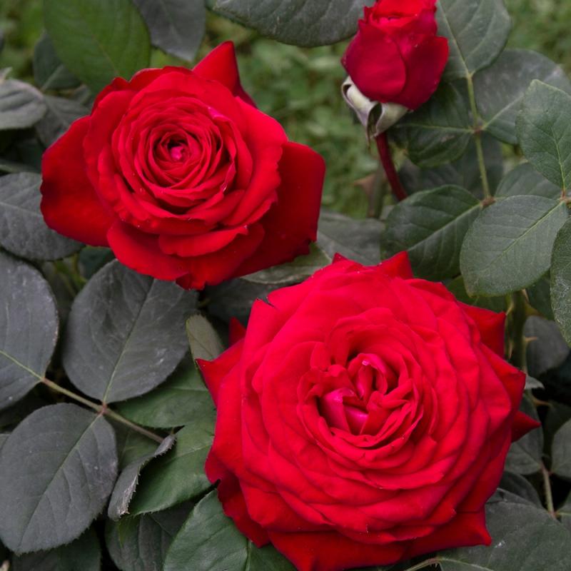 primo bacio ® | cod.01227 | Rose Barni