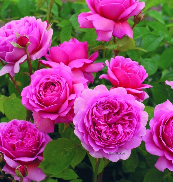 princess alexandra of kent® | cod.01228 | Rose Barni