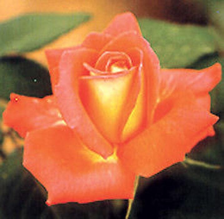 regina | cod.01235 | Rose Barni