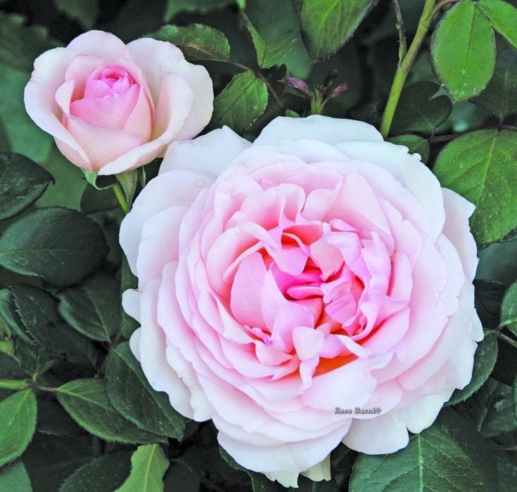roberto capucci ® | cod.01244 | Rose Barni