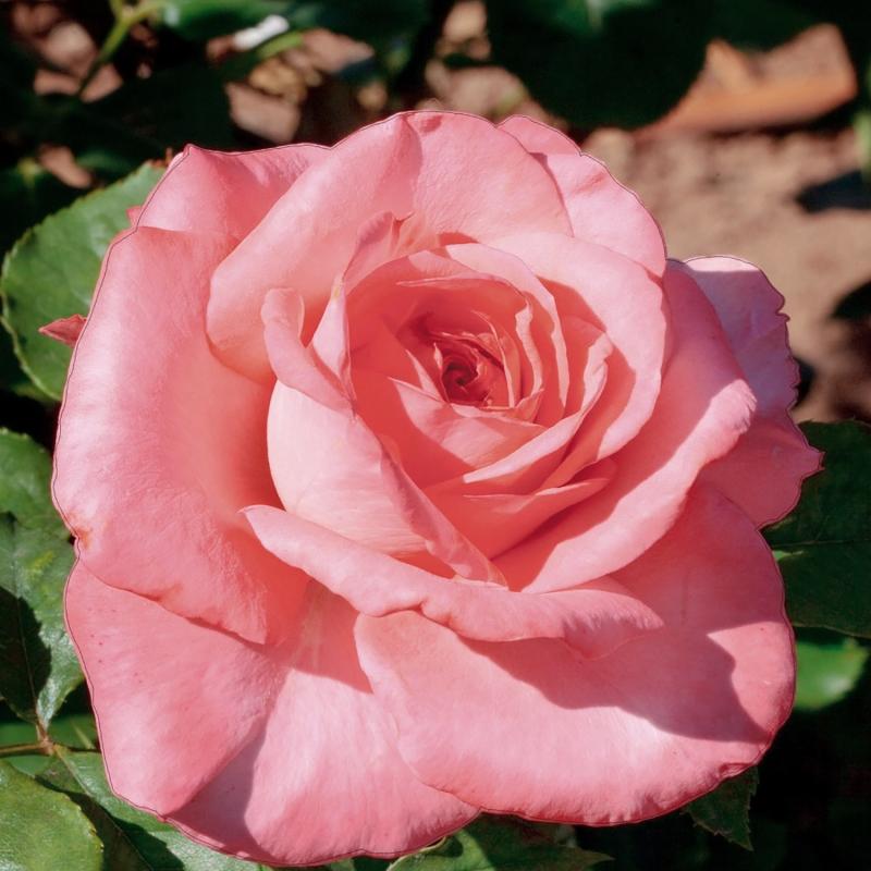 serenata | cod.01248 | Rose Barni