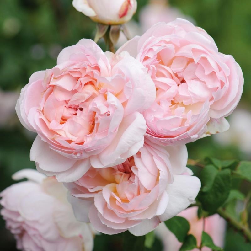 sharifa asma® | cod.01250 | Rose Barni