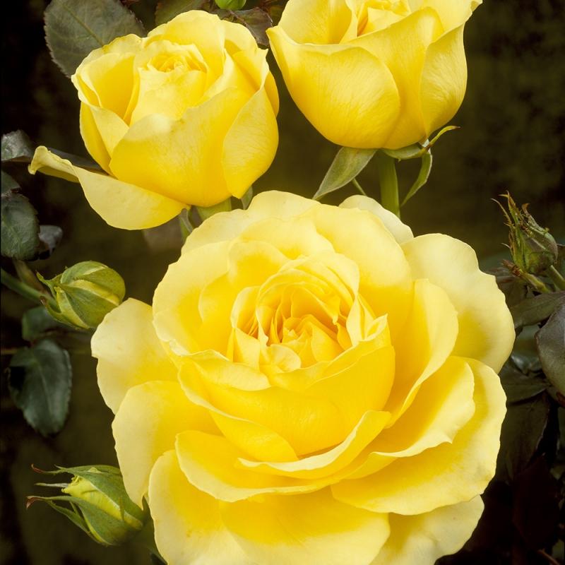 tivoli tm | cod.01272 | Rose Barni