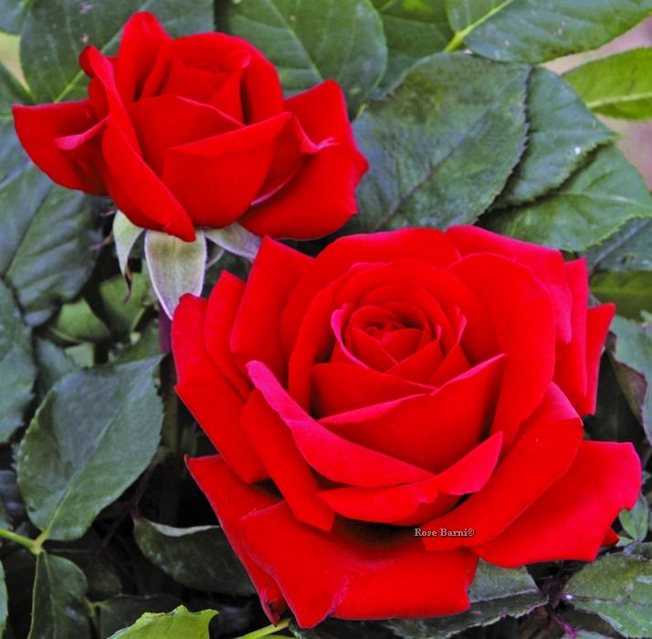 valentino ® | cod.01275 | Rose Barni
