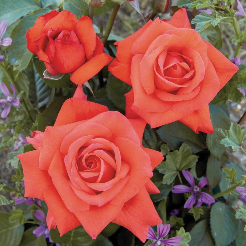 vulcano ® | cod.01282 | Rose Barni