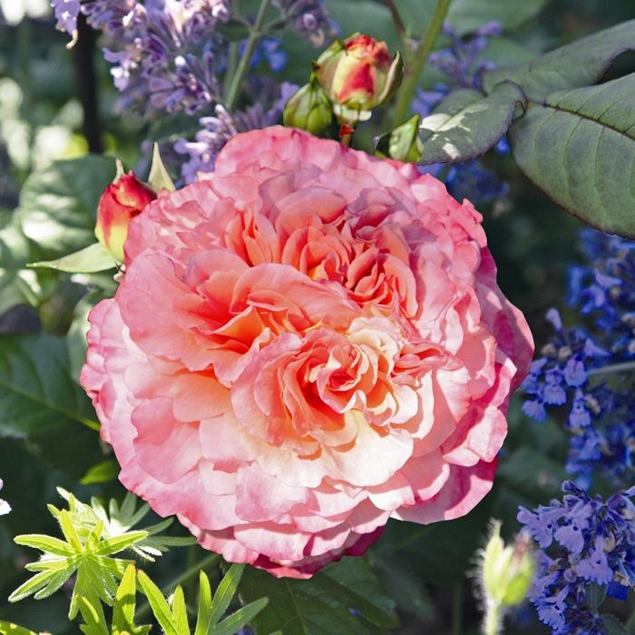 augusta luise ® | cod.01315 | Rose Barni