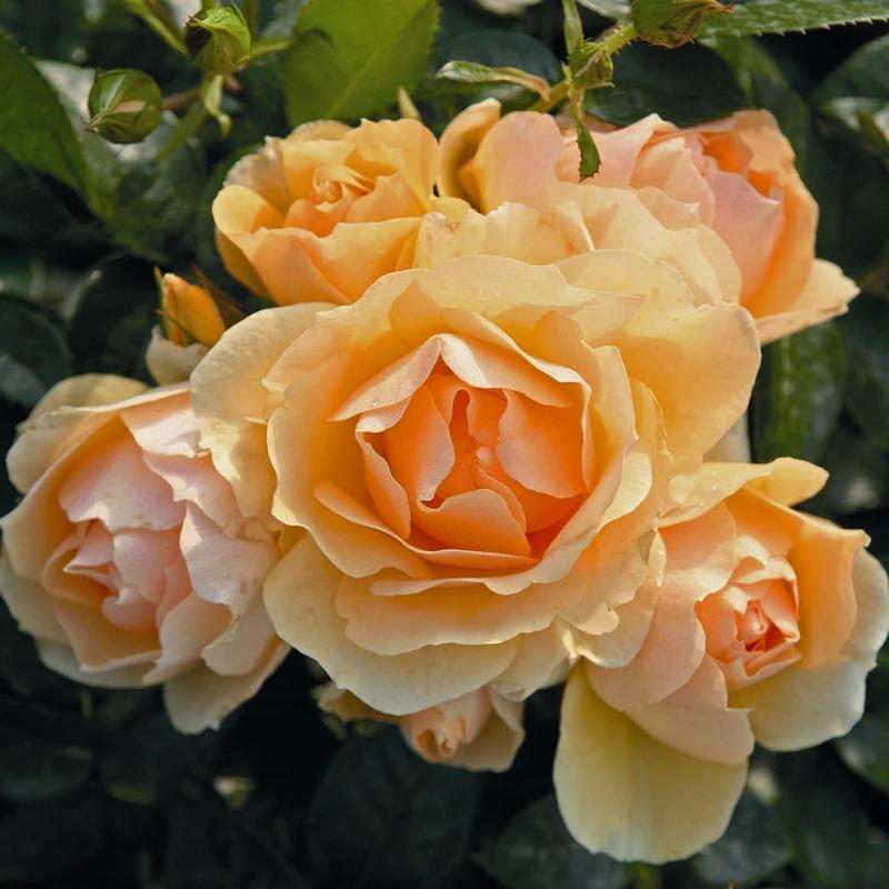 hansestadt rostock ® | cod.02051 | Rose Barni