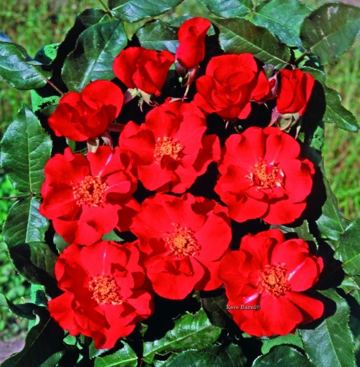 la rossa ® | cod.02062 | Rose Barni