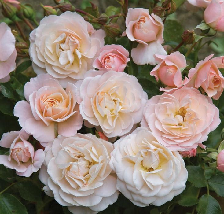 offerta allegria r.n. | cod.02067 | Rose Barni
