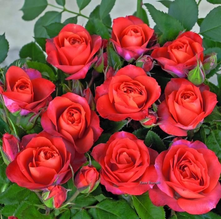 revolucion®   cod.02083   Rose Barni