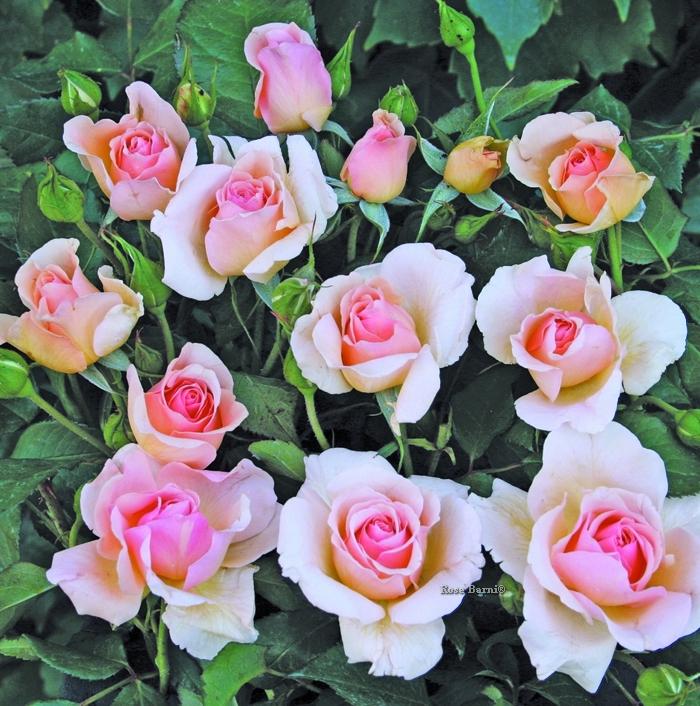 roseto carla fineschi ® | cod.02086 | Rose Barni