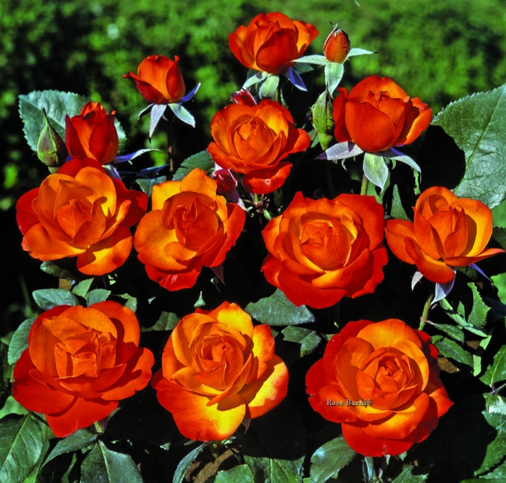 offerta colore r.n. | cod.02100 | Rose Barni