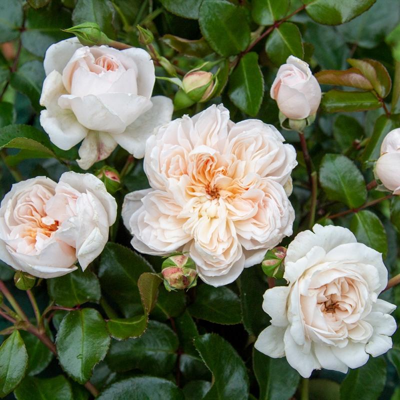 ariadne ® | cod.02510 | Rose Barni