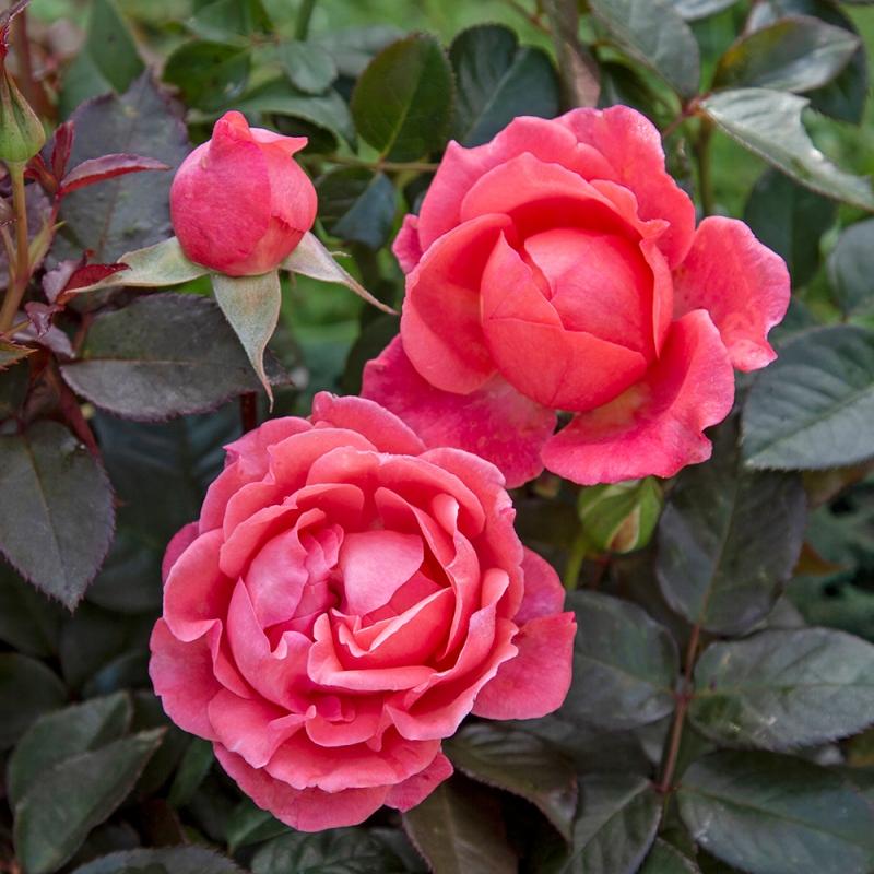 corail gelee ® | cod.02530 | Rose Barni