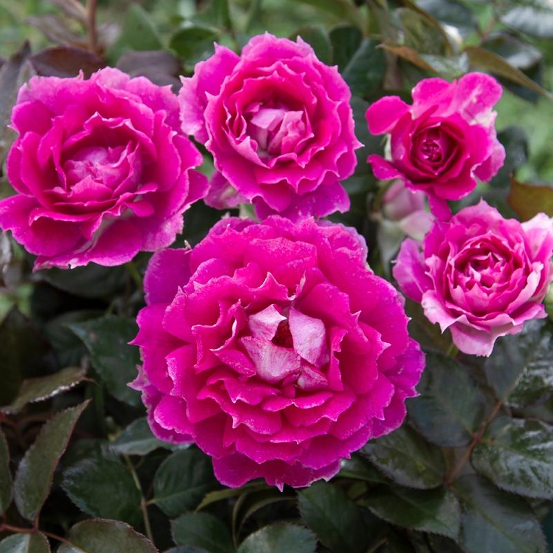 sheherazade ® | cod.02580 | Rose Barni