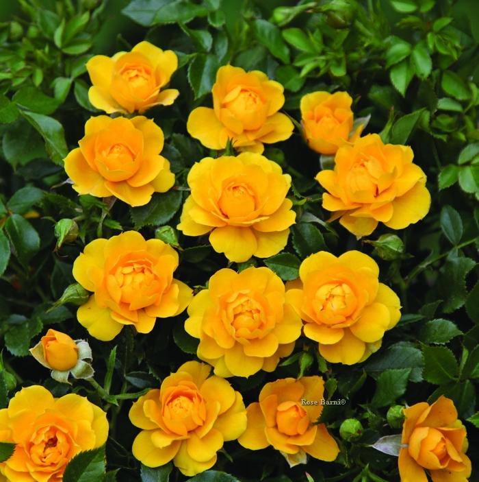 lucciola® | cod.03011 | Rose Barni