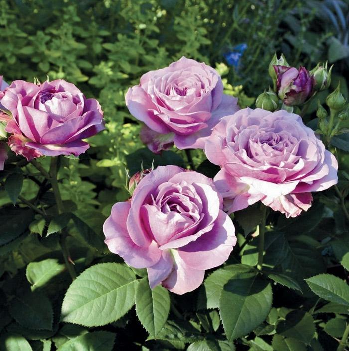 lavender ice ® | cod.03015 | Rose Barni