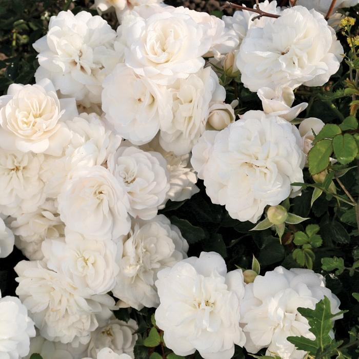 white babyflor ® | cod.03050 | Rose Barni