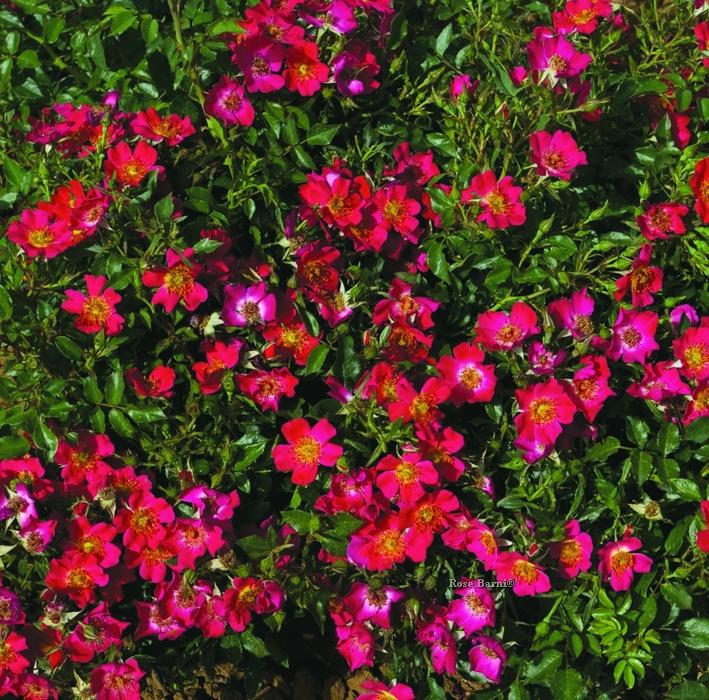 cassiopea® | cod.04014 | Rose Barni