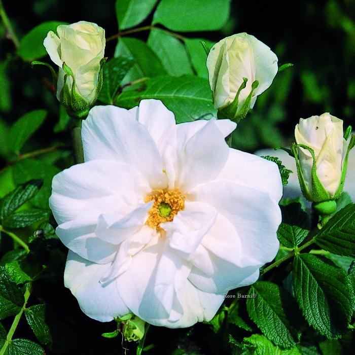 blanc double de coubert | cod.05030 | Rose Barni