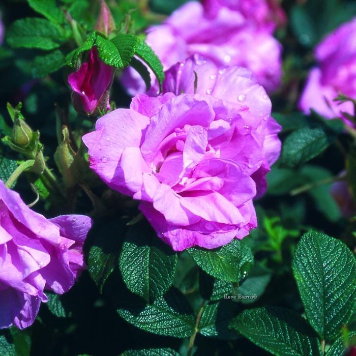 m.me r. gravereaux | cod.05134 | Rose Barni