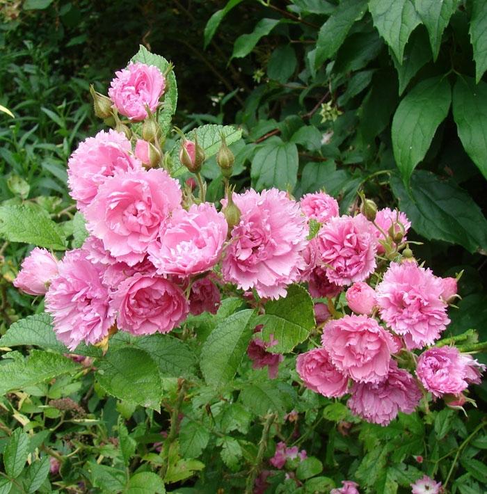 pink grootendorst | cod.05175 | Rose Barni