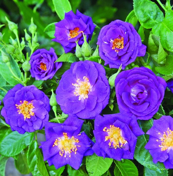 rhapsody in blue ® | cod.06029 | Rose Barni