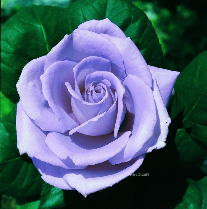 blue monday | cod.07050 | Rose Barni