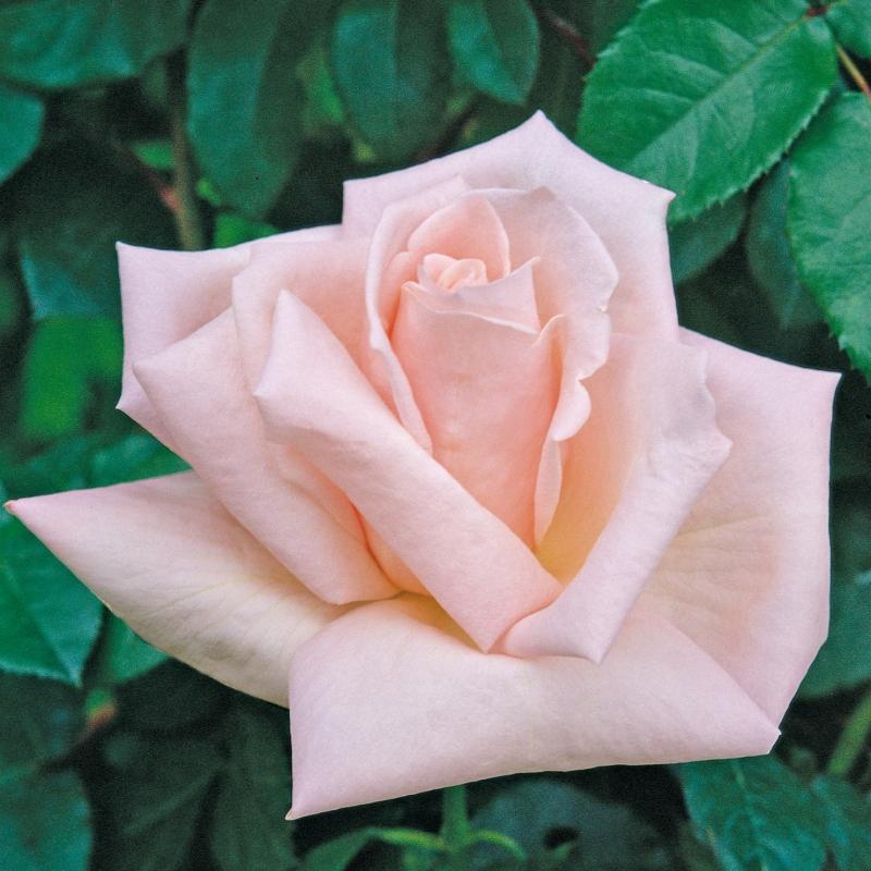donna marella agnelli ® | cod.07092 | Rose Barni