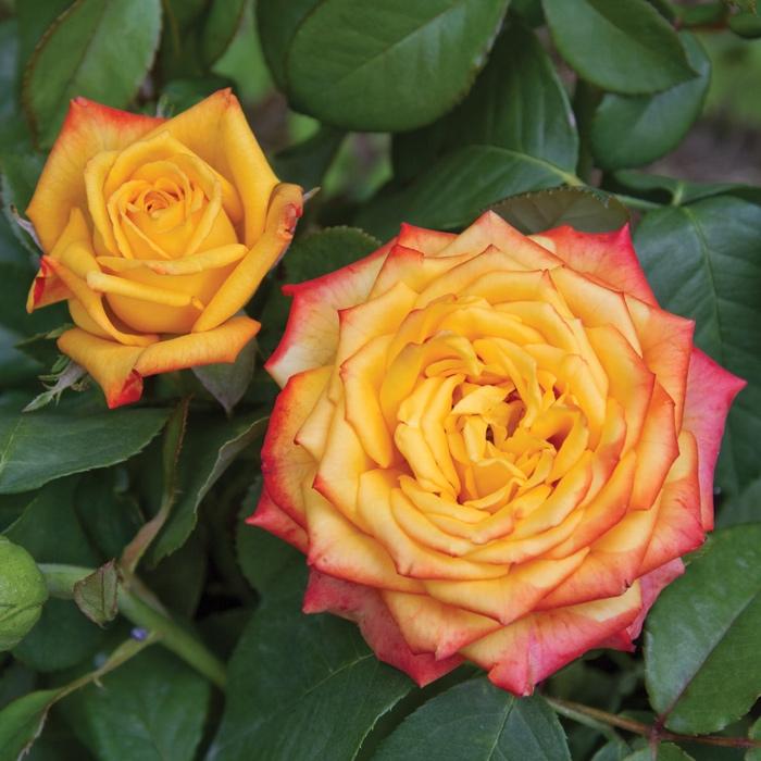 girandola® | cod.07119 | Rose Barni