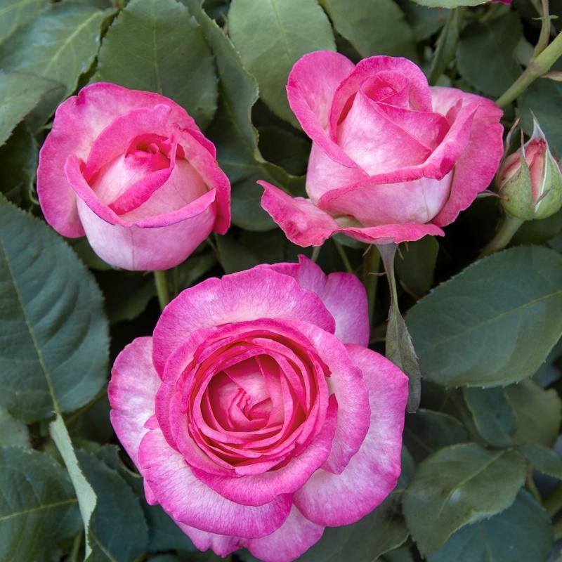 luisa spagnoli ®   cod.07176   Rose Barni