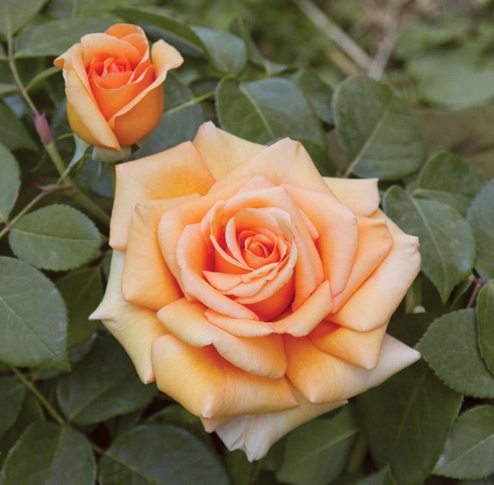 luna di miele ® | cod.07177 | Rose Barni