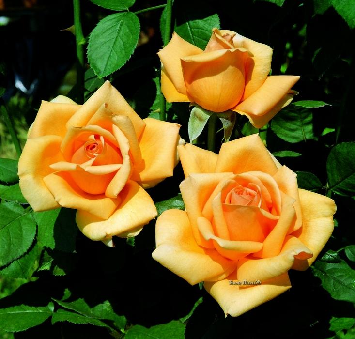valencia ® | cod.07274 | Rose Barni