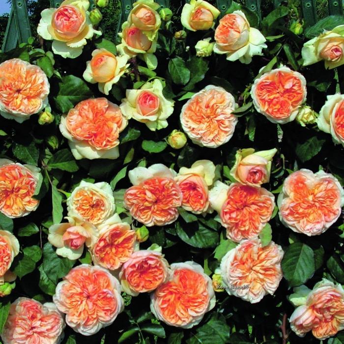 offerta ramp grandi fiori 2 rn | cod.15001 | Rose Barni