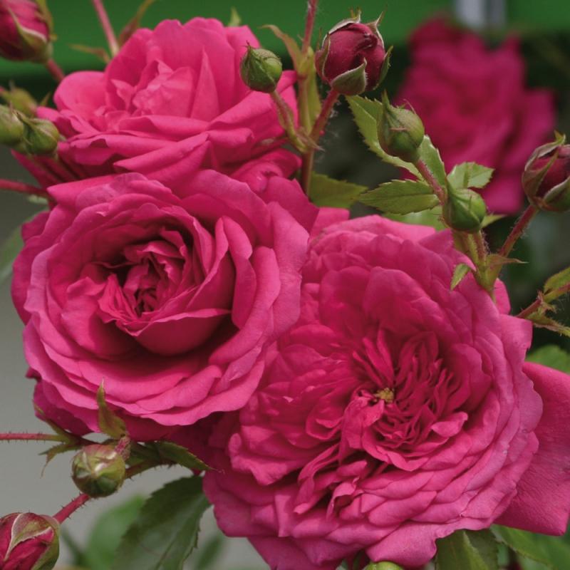 offerta ramp grandi fiori 1 rn | cod.15045 | Rose Barni