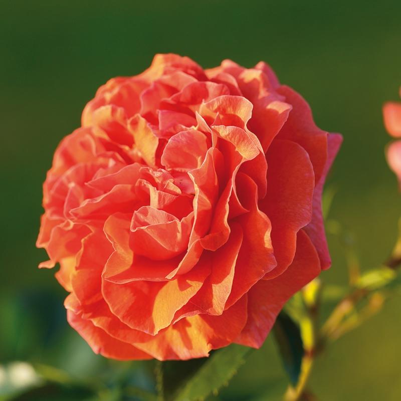 naranga® | cod.15062 | Rose Barni