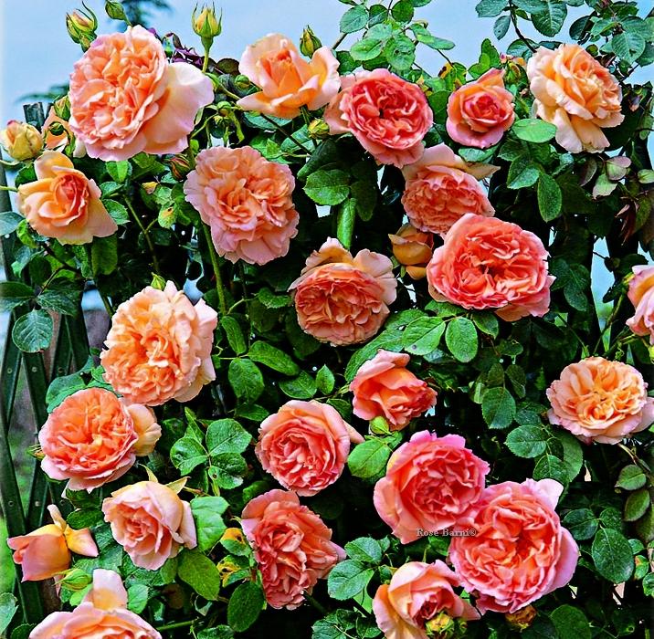 papi delbard ® | cod.15070 | Rose Barni