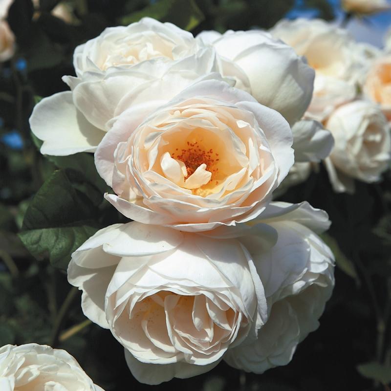 uetersener klosterrose® | cod.15087 | Rose Barni