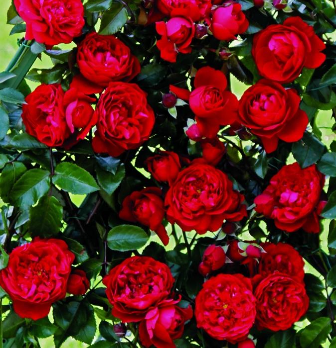 off. ramp grandi fiori 1 vaso | cod.16053 | Rose Barni