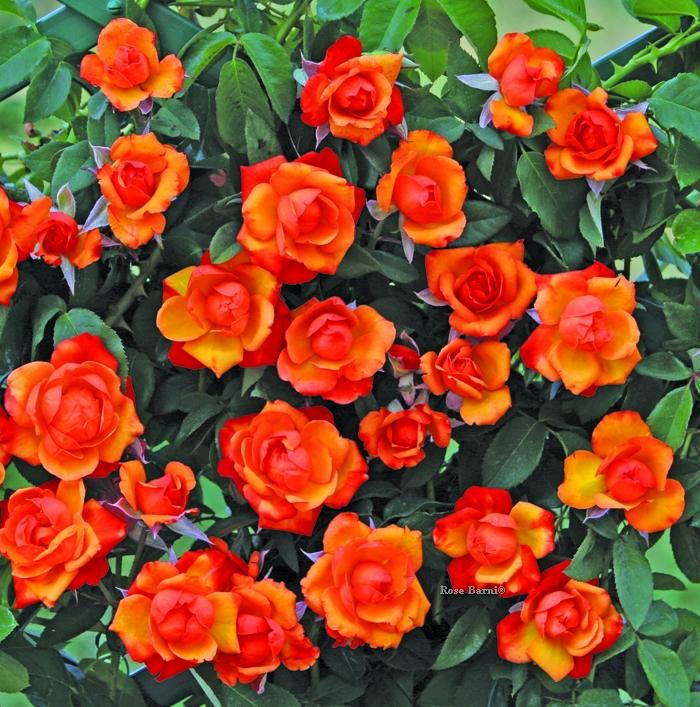 offerta rampic mazzi 1 vaso 2019 | cod.18038 | Rose Barni