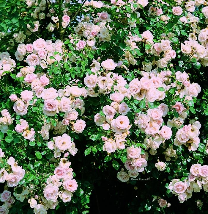 off. rampi mazzi 1 vaso | cod.18085 | Rose Barni