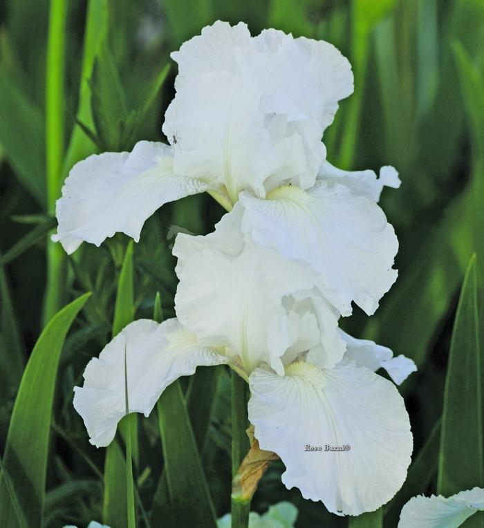 offerta speciale iris | cod.34148 | Rose Barni