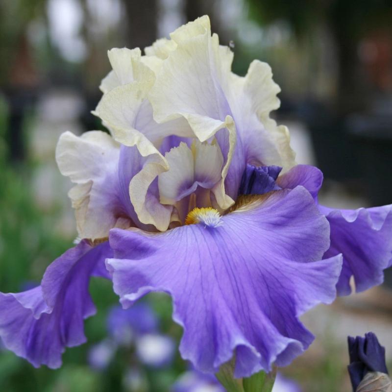 offerta speciale iris | cod.34152 | Rose Barni
