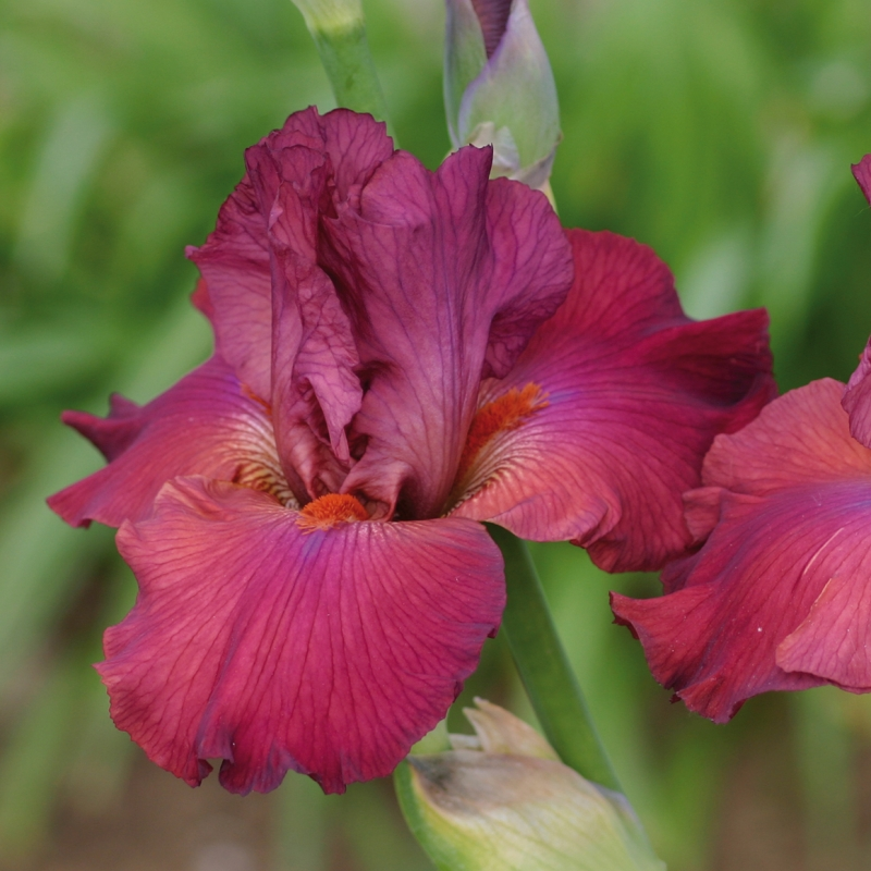 offerta speciale iris | cod.34172 | Rose Barni