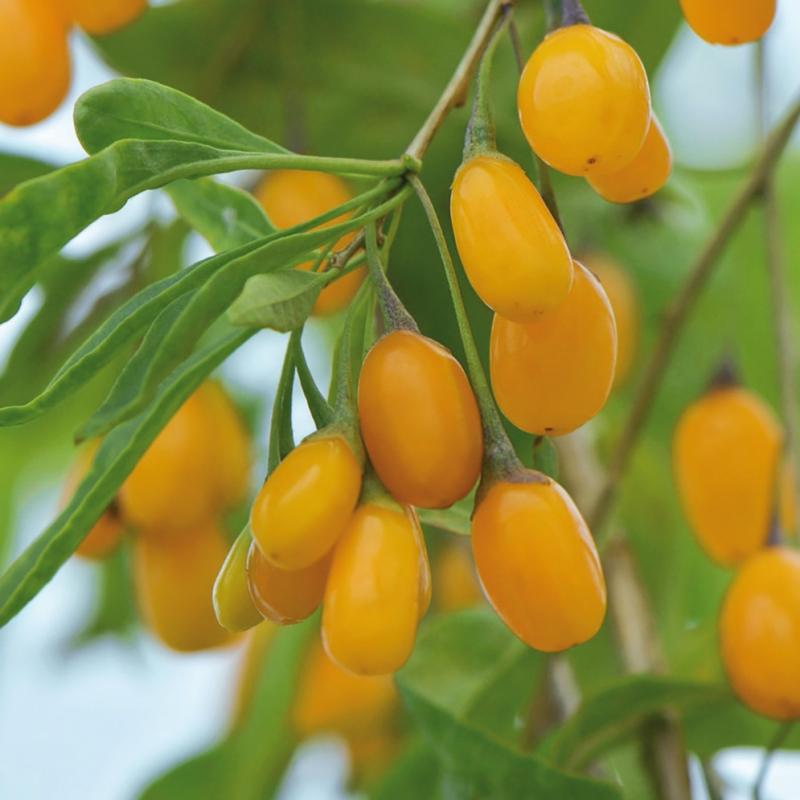 amber sweet goji | cod.35046 | Rose Barni