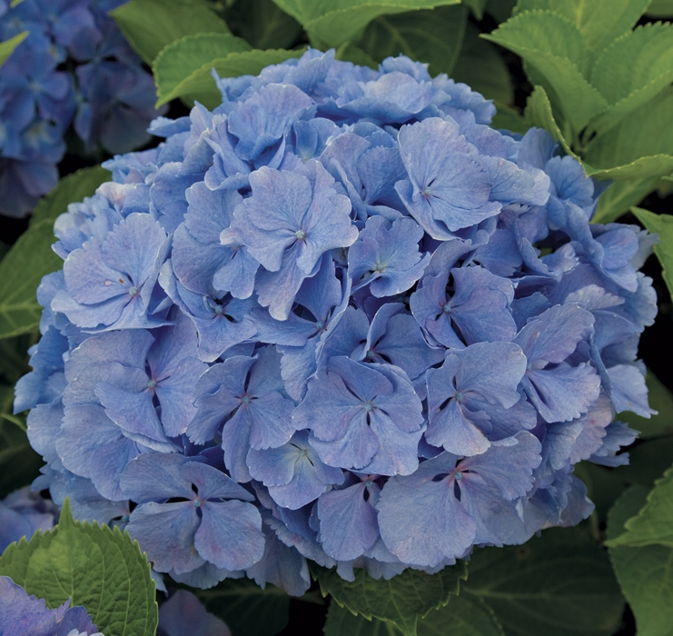 hydrangea early blue | cod.54008 | Rose Barni