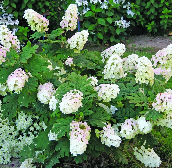 hydr. quercifolia | cod.54013 | Rose Barni